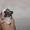 чихуахуа щеночки  #1511584