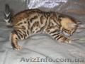 Бенгальские коты,  кошки,  котята.