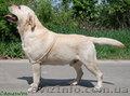 Продам щенков лабрадора от элитных родителей