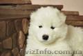 Продаются клубные щенки самоедской собаки с прекрасной родословной