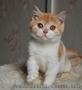 Шотландский котик красный биколор