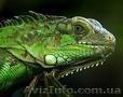 Игуана обыкновеноя (зелёная)
