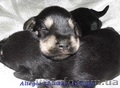 Цвергшнауцер,  щенки чёрносеребристого окраса