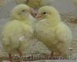 Цыплята бройлеры Росс 308