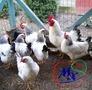 Инкубационные яйца курей - Изображение #2, Объявление #1362674