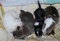 чихуахуа щеночки  - Изображение #3, Объявление #1511584