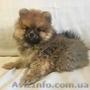 Продаются щенки породы: Померанский шпиц, Объявление #1615247