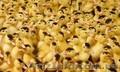 Продаж курчат м'ясо-яєчних порід. - Изображение #3, Объявление #1602720